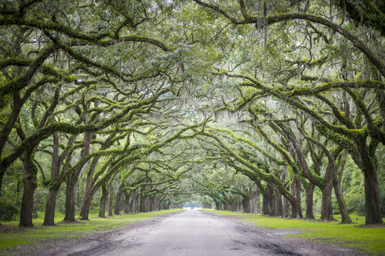 Quiet southern country road lined with oak trees with overhanging branches dripping with Spanish moss