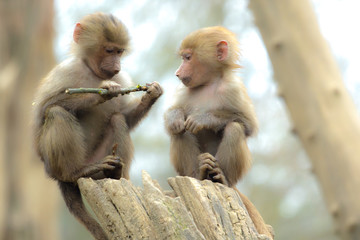 Two cute baby baboon sitting on a wood and playing