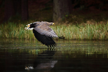 Fototapete - Eagle in fly above the dark lake. White-tailed Eagle, Haliaeetus albicilla, flight above the water river, bird of prey with forest in background, animal in the nature habitat, wildlife, Sweden.