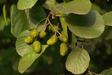 Ontano nero (Alnus glutinosa) - ramo con frutti