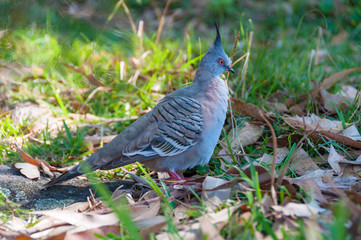 Crested pigeon bird in the wild