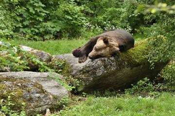 Beautiful bear in the nature looking habitat in Germany. Captive brown bear. Ursus arctos.