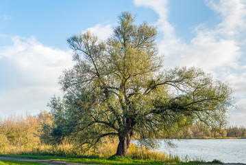 Large characteristic tree on the waterfront