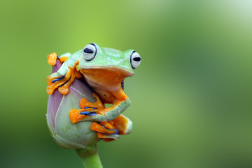 Tree frog, flying frog on lotus bud