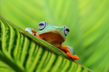 Tree frog, flying frog on leaves