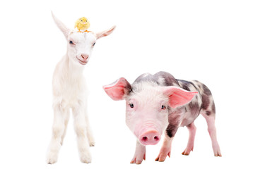 Curious little pig and goat with a chick on his head, standing together, isolated on white background