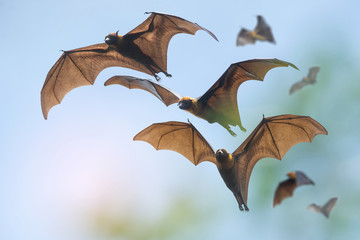 Bats flying on blue sky (Lyle's flying fox)