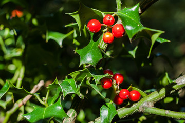 Close-up of Ilex aquifolium or European holly leaves and fruit
