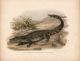 Illustration of a crocodile.