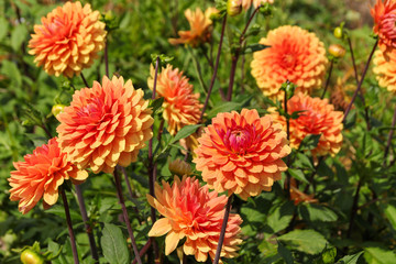 Seerosen Dahlie, Orange