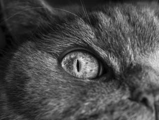black and white cat picture, British cat, cat face, cat's eye
