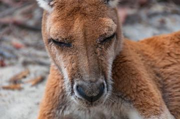 Australian wild Antilopine red kangaroo animal