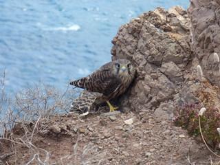 Falke an stürmischer Küste