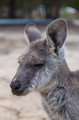 Australian kangaroo animal close up portrait