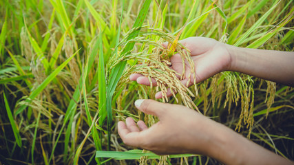 background handle Catch the rice yellow gold. During the harvest season. Asian thailand