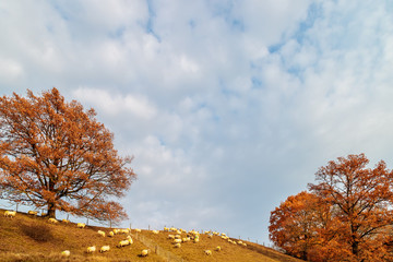 Autumn view with sheep herd in the province of Limburg