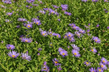 Brachyscome iberidifolia, Blaues Gänseblümchen