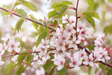 flowering Sakura in the garden/ pink petals of cherry trees in spring