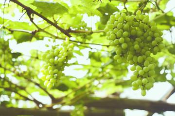 Vineyard / Grape seedless , Background photo : film style photography