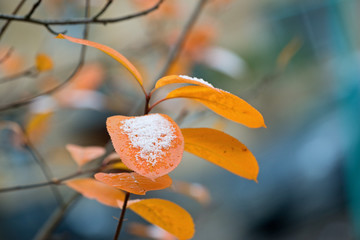 The bright leaves of the chokeberry and the first snow.