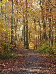 Weg im Buchenwald im Herbst: Farbige Blätter in der Sonne