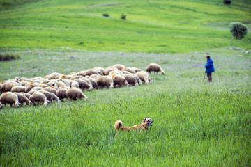 shepherd dog and sheep