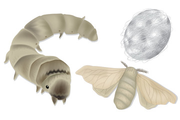 Vector illustration - Bombyx mori, silkworm