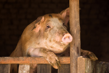 big pig in sty