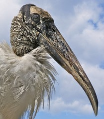 Close-up of a wood stork