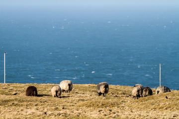 Sheeps at Heligoland