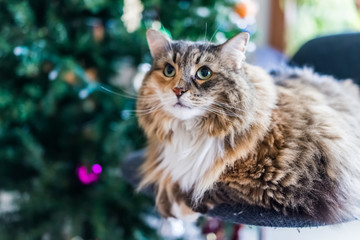 Calico tabby maine coon cat sitting by Christmas tree