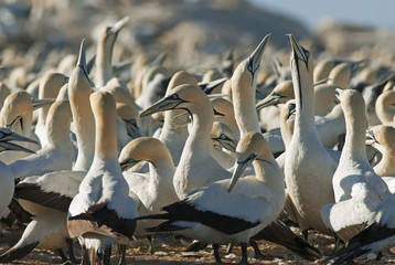 Cape Gannets, Morus capensis, Bird Island Nature Reserve, Lambert's Bay, South Africa, big flock of birds