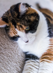 Calico cat lying on carpet playing reaching for toy