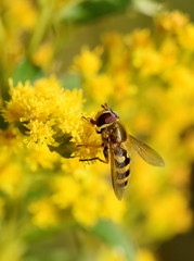 The hoverfly Helophilus pendulus on a yellow flower