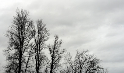 Poplar trees without leaves.