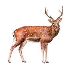 Deer spotted with horns isolated on white background. Illustration. Watercolor. Template. Handmade