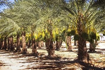 Madjool Date Palms in Mecca