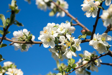 Blooming Apple tree in white. Flowering branches of Apple on a background of blue sky in the spring