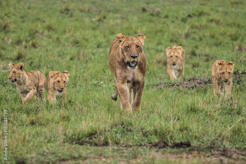 LION WITH FOUR CUBS