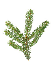 Branch of fir tree on white background