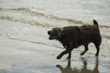a patterdale terrior barking on the beach