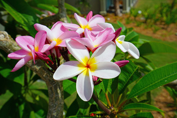 Fragrant blossoms of white and pink frangipani flowers, also called plumeria and melia