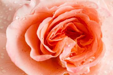 rose flower closeup