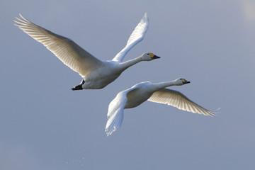 飛ぶ白鳥 Swan flying
