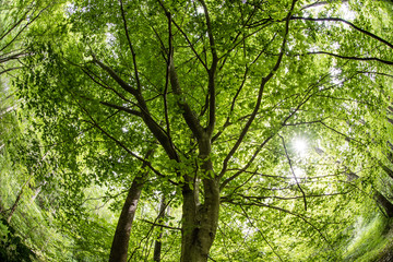 View of Beech Tree Canopy and Sun