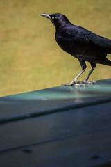Picnic Black Bird