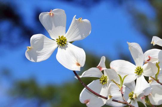Flowering Dogwood Detail. White Flower Isolated On Blue Sky