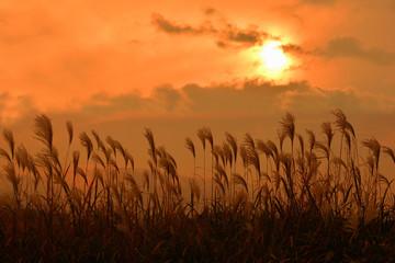 ススキ 輝く夕陽