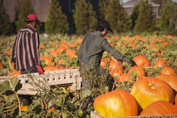 Farmers working in pumpkin field