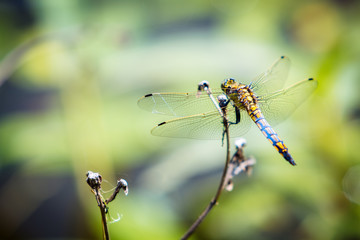 Dragonfly sitting on a branch.